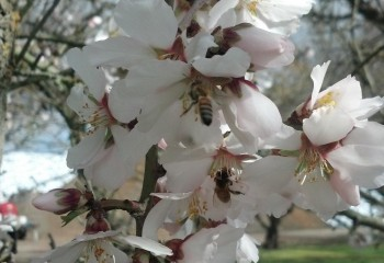 Bees Foraging on Almond Blossoms