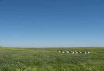 North Dakota Prairie Beeyard